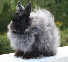 Adult Jersey Wooly Rabbit.