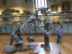 The Megatherium was a giant ground sloth found in South America during the Pliocene. It weighed up to four tons and was twenty feet (6m) in length from head to tail. Although it primarily moved on four legs, footprints show that it was capable of being bipedal, in order to reach leaves from the tallest trees. It seemed to be a scavenger and was also one of the last giant Ice Age mammals to disappear. Their remains appear in the fossil record as recently as the Holocene.