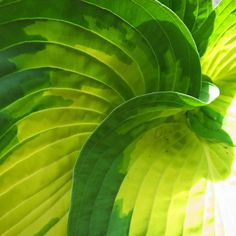 One of my new hostas this year. I LOVE the swirl of leaves in the centre!
