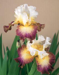 Starship Enterprise | Tall Bearded Iris  Schreiner's Iris Gardens