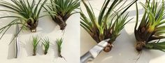 Easy Propagation of Air Plants