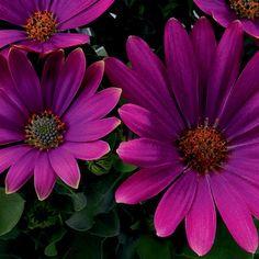 'Sunny™ Xita' - African Daisy - Osteospermum hybrid