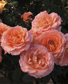 ROSE, FLORIBUNDA Jump For Joy Rose, Floribunda 'Jump For Joy' Height:3-4' Spread:3-4' Flowers:Peachy-Pink Blooms:Continuous, sets buds and blooms throughout the season. Fragrance:Apple Additional Information: Floribunda roses have smaller, beautiful Hybrid Tea-like flowers, but are presented in clusters or sprays. FLoribunda's are excellent for landscaping as they are shorter, more compact plants with a long bloom period from spring until frost.