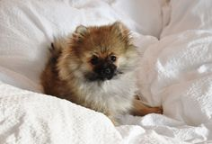 Cutest Pomeranian puppy