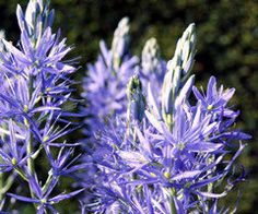 Camassia - bulbs that flower in early summer. after the tulips and before summer perennials, also come in dark blue and white