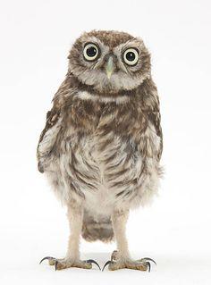 Portrait of a young Little Owl (Athene noctua).