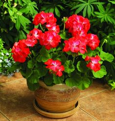 lots of geranium in pots - Yahoo Image Search Results