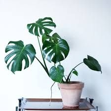 Bilderesultater for monstera plante Philodendron Monstera, Monstera Deliciosa, Grown Up Christmas List, Swiss Cheese Plant, Jungle Room, Plant Guide, Plant Sale, Tropical Plants, Indoor Plants