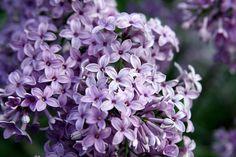 lilacs... Still my favorites