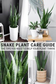 Learn how to take care of a snake plant including snake plant care indoors It s simple to make a snake plant thrive with a few simple steps snakeplant snakeplants snakeplantcare houseplantcare houseplants # Succulents Garden, Garden Plants, Planting Flowers, Succulents Care Indoor, Patio Plants, Flowering Plants, Cactus Plants, Best Indoor Plants, Outdoor Plants