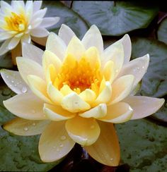 Cheap hardy pond plants that winter over easy. We have lower prices on pond plants than our competitors. Pond plants are an effective means to control algae growth. Pond plants also protect yoru fish from predators. Water Flowers, Big Flowers, Exotic Flowers, Yellow Flowers, Beautiful Flowers, Lotus Flowers, Pond Plants, Water Plants, Water Garden