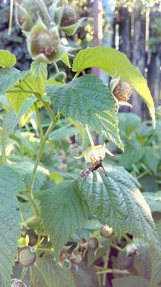 Pilořitka  (Siricidae) Foceno u nás na zahradě