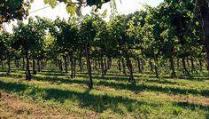 Spiragli d'Agosto. Auguriamo a tutti quanti un #Ferragosto allegro e gioioso! #valcalepio #15agosto #vigneto #wineyards  #merlot