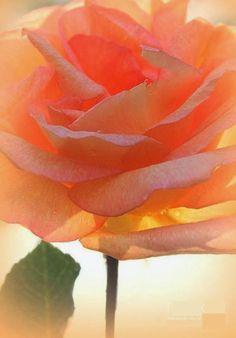 "flowersgardenlove: "" Heaven's Peach Rose Beautiful """