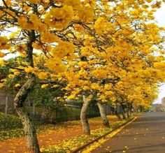 Maple Trees Types of Sugar Blooming Trees, Flowering Trees, Maple Trees Types, Florida Trees, Colorful Trees, Trees To Plant, Beautiful Gardens, Garden Landscaping, Photo Art