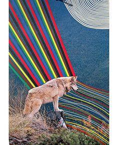 wolf, colour