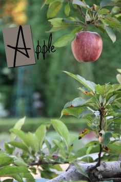 """""""A"""" is for Apple espalier."""