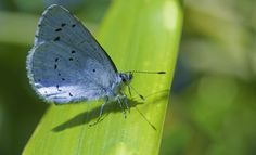 Little Blue Butterfly Blue Butterfly, Butterflies, Insects, Yard, Animals, Friends, Flowers, Amigos, Patio