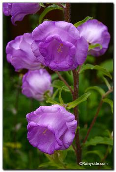 ~~ Canterbury Bells ~~