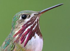 The Calliope Hummingbird visits Tennessee!  See the entire list of birds you can spot in Tennessee at the TN Ornithological Society site.