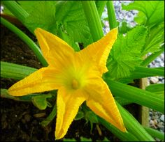 Patio of Pots: Grow Zucchini in a Container