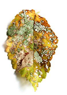 cuenta atrás-  el otoño va colgando su cartel en algunas hojas tal vez esto entristezca a quien adora el verano  el tiempo y la naturaleza tiene estos sin sabores     especie: hoja de olmo de bola Ulmus umbraculifera, afectada por la larva y el escarabajo de Galeruca Xanthogaleruca luteola recolección: Ciudad Real