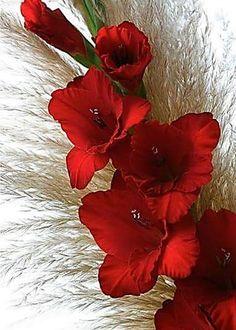 Gladiolo rojo