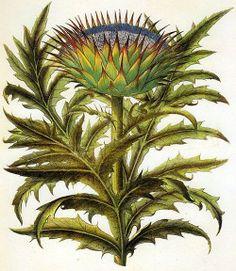 (via Pin by Kim Tackett on Botanical   Pinterest)