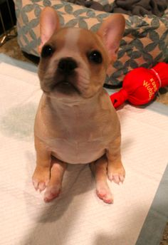 French Bulldog. Cute!! @Kate Wood this is like the one on that show!