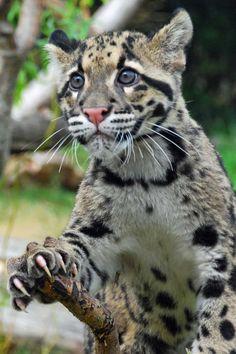 Дымчатый леопард - Clouded leopard Дымчатый леопард (Neofelis nebulosa) - представитель семейства кошачьих, обитающий в Юго-Восточной Азии. Cредних разм... - Mikhail Petrovsky - Google+
