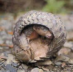 pangolin, curled with head