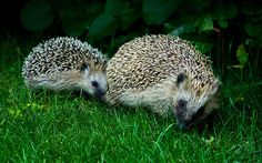 How to: attract hedgehogs into your garden