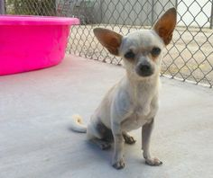 Otis Chihuahua • Adult • Male • Small Guadalupe County Humane Society Seguin, TX