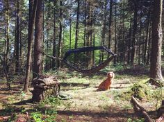 My home for today hammock lounging in the woods with Jep. Stunning weather and perfect for a bit of carving and relaxation... #getoutside #getoutdoors #outdoorliving #outdoorlife #woodsman #bushcraft #hammocking #hammocklife #woods #forest #woodland #woodlands #ddhammocks #cockerspaniel #englishcockerspaniel #camping by @beardmanandbushdog