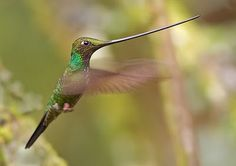 The Sword Billed Hummingbird is holding down the genus Ensifera as the only living member. It's noted for its exceptionally long bill which can reach 4 inches long. In comparison, the common Ruby-throated Hummingbird only reaches 3 inches in length - beak and body combined!