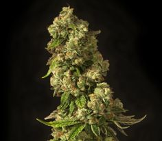 """John Doe Strain Review  A high producing hybrid strain with a slight sativa dominance. The sour berry taste of the mother strain really comes through with an earthy tang from the G13 Indica. John Doe has euphoric and uplifting effects and will inspire fits of laughter as added bonus.  [button type=""""link"""" link=""""http://www.bitcoinseedstore.com/bulk-cannabis-seeds """" size=""""btn-lg"""" variation=""""btn-danger"""" block=""""btn-block"""" target=""""blank""""]Bulk Cannabis... http://www.marijuanaseedstrainreview.com…"""