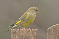 Zöldike Bird, Europe, Animals, Greenfinch, Animales, Animaux, Birds, Animal, Animais