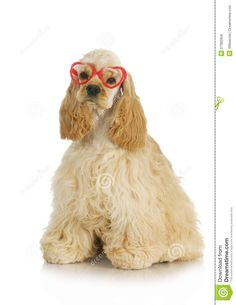 cocker spaniel with glasses | ... puppy - american cocker spaniel puppy wearing heart shaped glasses
