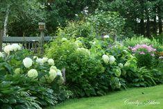 Annabelle Hydrangeas in a shrub and hosta mix border.