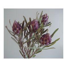 【生花】リューカデンドロ プルモサス(実もの・茶):::切り花・生花 の通販なら - はなどんやアソシエ