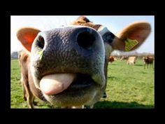Make It So: Sir Patrick Stewart Moos In Udder Accents (A Jersey cow enjoys the sunshine in Jersey, one of the British Channel Islands. Farm Animals, Funny Animals, Cute Animals, Cow Nose, Cow Tipping, Animal Noses, Cow Painting, Enjoy The Sunshine, Pictures Of The Week