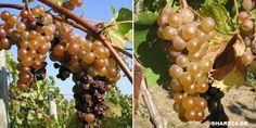 Grape Trellis, Fruit, Garden, Nature, Food, Garten, Naturaleza, Lawn And Garden, Essen