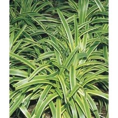 Shop 6-Pack Variegated Liriope (L3326) at Lowes.com