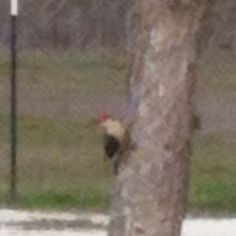 Woodpecker in my Oak tree this morning