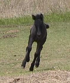 Fell Pony, Stonecreek Black Prince,