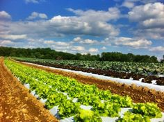 Gorman Farm - Pick your own Howard County Maryland, Vineyard, Nova, Outdoors, Vine Yard, Vineyard Vines, Outdoor Rooms, Off Grid, Outdoor