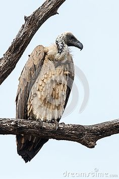 White-backed Vulture stock image. Image of holiday, white - 32961799 Down Feather, Vulture, Head And Neck, Bald Eagle, Feathers, Wings, Southern, Africa, Dark