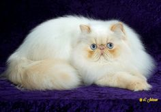Afunnyimages provides High Definition Persian Cat Photos for your crystal desktop and profile backgrounds. We selected in high resolution wallpapers.