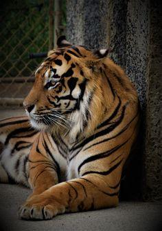 [1448x2048][OC] Tiger at an Oregon Zoo. wallpaper/ background for iPad mini/ air/ 2 / pro/ laptop @dquocbuu