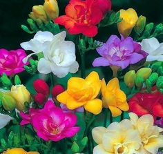 Double Mixed Freesia 15 Bulbs Indoors or Out Fragrant 6 7 cm Bulbs Amazing Flowers, Colorful Flowers, White Flowers, Beautiful Flowers, Beautiful Gif, Beautiful Gardens, Beautiful Things, Bday Flowers, Spring Flowers
